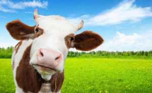 vegan-google-searches-cow